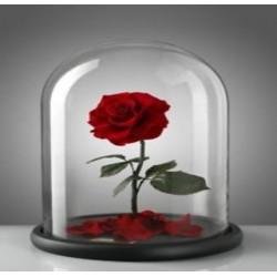 Rose éternel