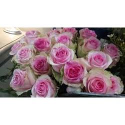 Rose rose pastel