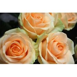 Rose orange pastel