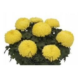 Chrysanthèmes dirigé