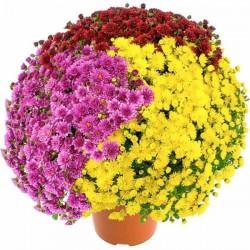 Chrysanthèmes de la...